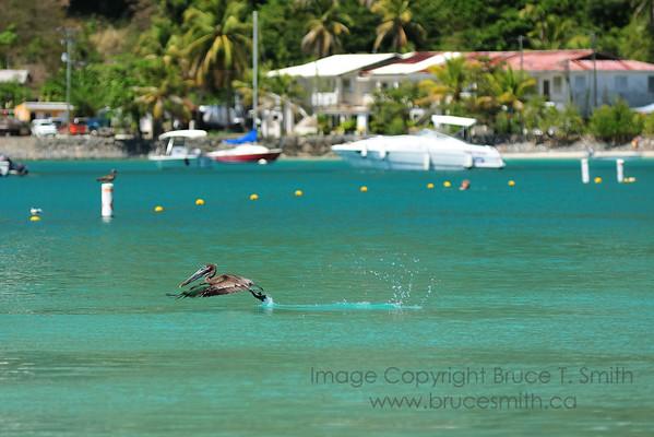 Pelican Taking Off