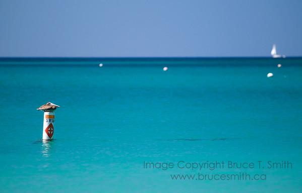 Pelican Lifeguard in the British Virgin Islands