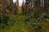 The forest near Wells / Barkerville BC