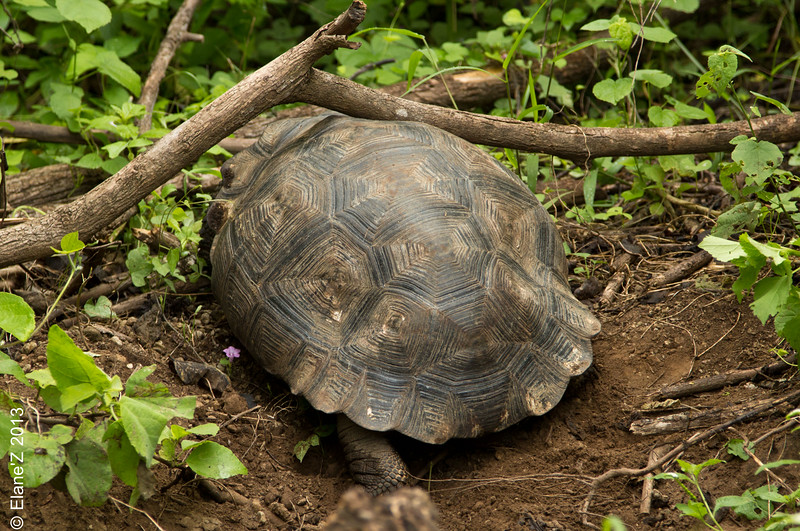 A young tortoise doesn't quite know the size of its shell ...