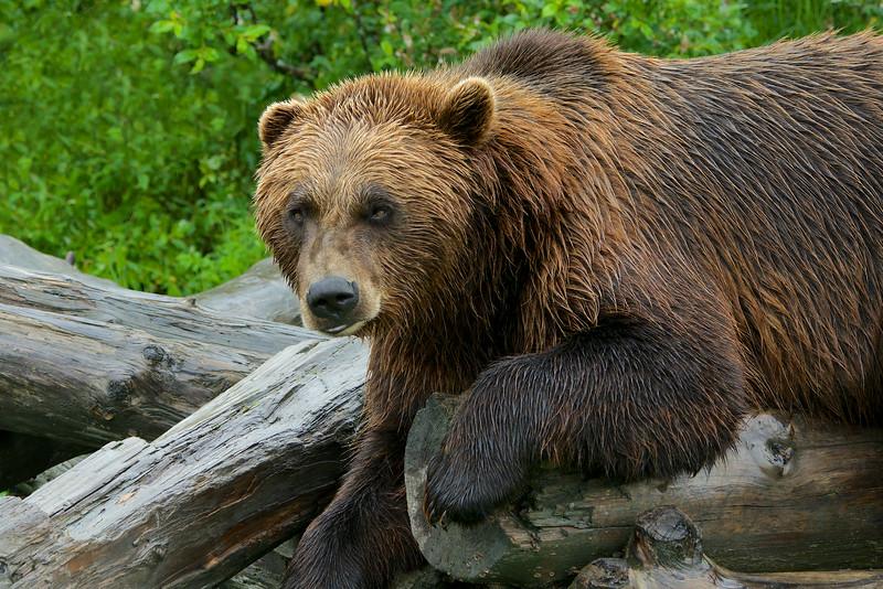 Brown Bear, Alaska