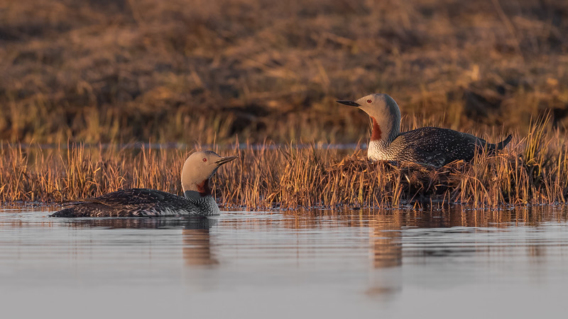 Red-throated Loons, Iceland