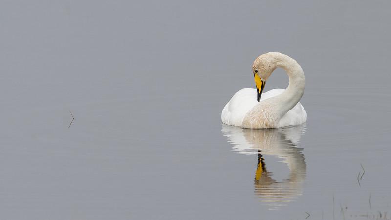 Whooper Swan, Iceland