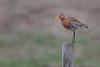 Black-tailed Godwit, Iceland
