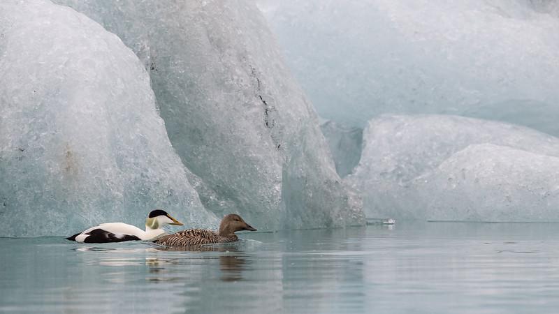 Eider Ducks, Iceland