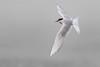 Arctic Tern, Iceland