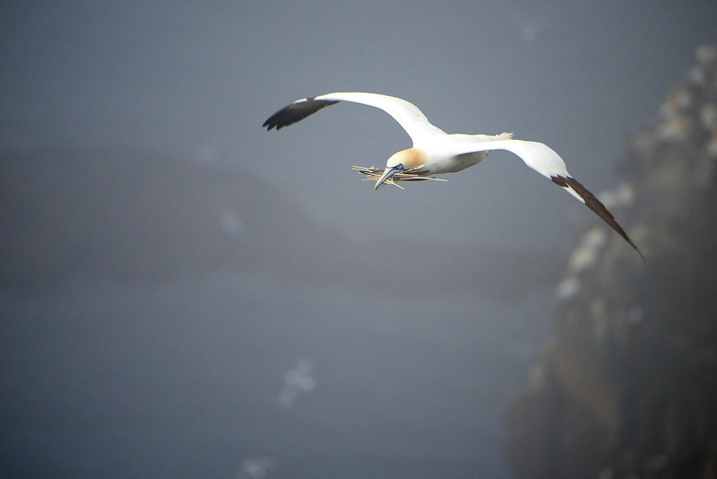 Northern Gannet - Cape St. Mary's, Newfoundland