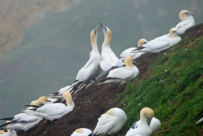Northern Gannets - Cape St. Mary's, Newfoundland