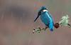 Kingfisher, Scotland