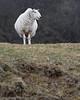 Scottish Highland Sheep - Isle of Skye, Scotland
