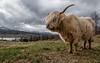 Scottish Highland Cow - Isle of Skye, Scotland