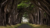 Cypress Tunnel - Inverness, California