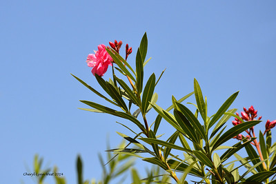 Princess Cays - wild flowers (March 20, 2014)