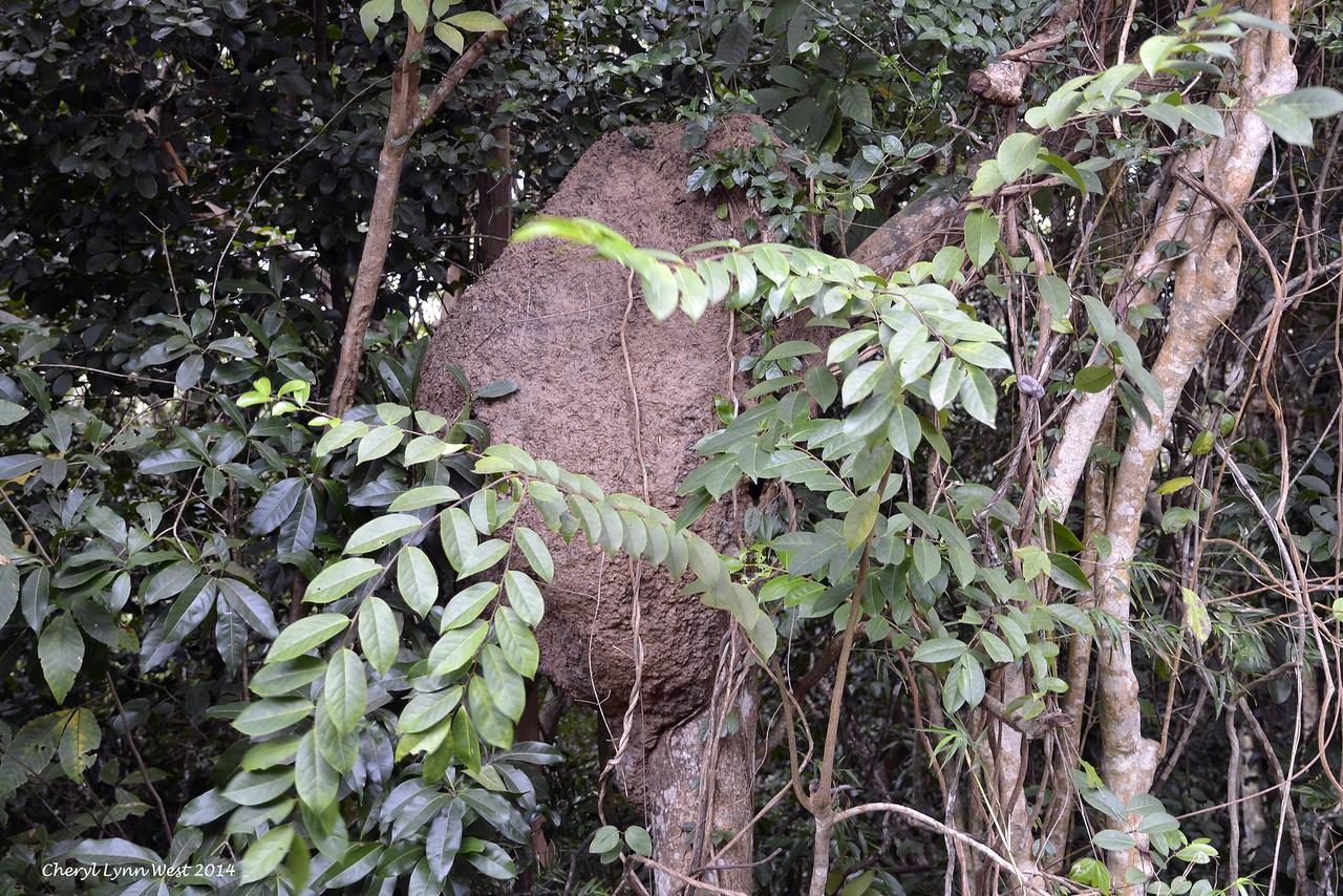 St. Thomas - Termite mound on St John's Island (March 22, 2014)