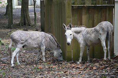 St. Thomas - wild donkeys on the island of St. John