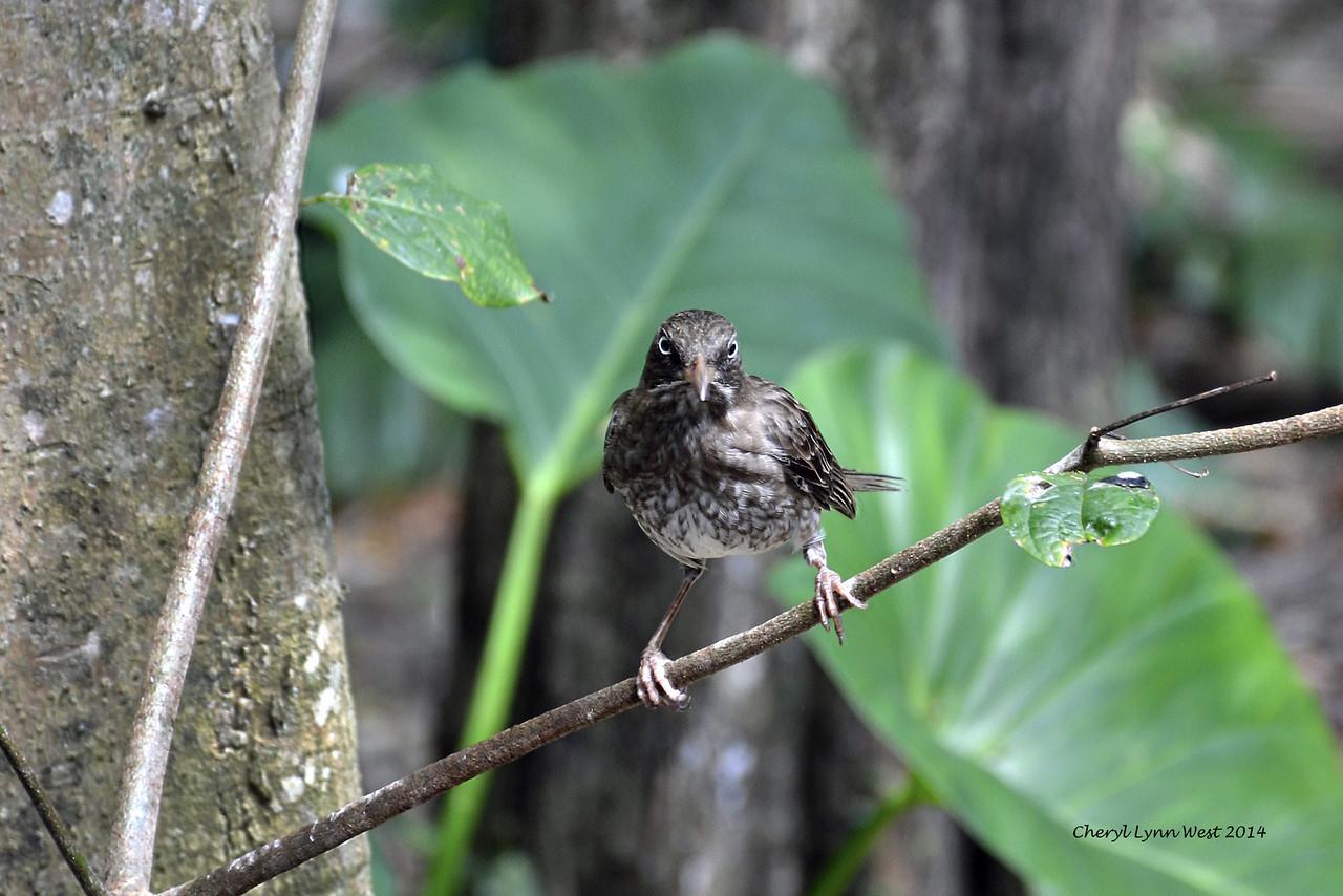 St. Thomas - Bird on St. John Island (March 22, 2014)