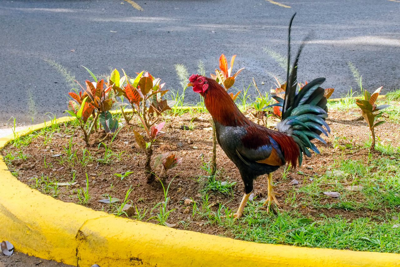 El Yunque Rain Forest Rooster