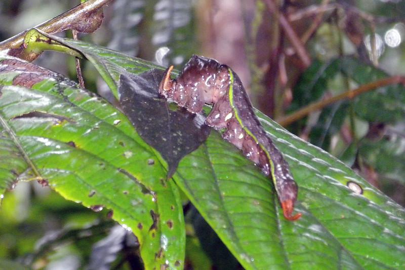 Giant slug at the Rainforest in Costa Rica