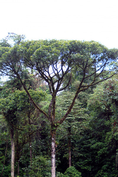 """Broccoli"" tree in the Rainforest in Costa Rica"