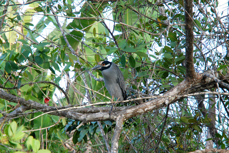 Bird in Costa Rica, at the Tortuguero Canals boat ride - Tortuguero means Land of Turtles