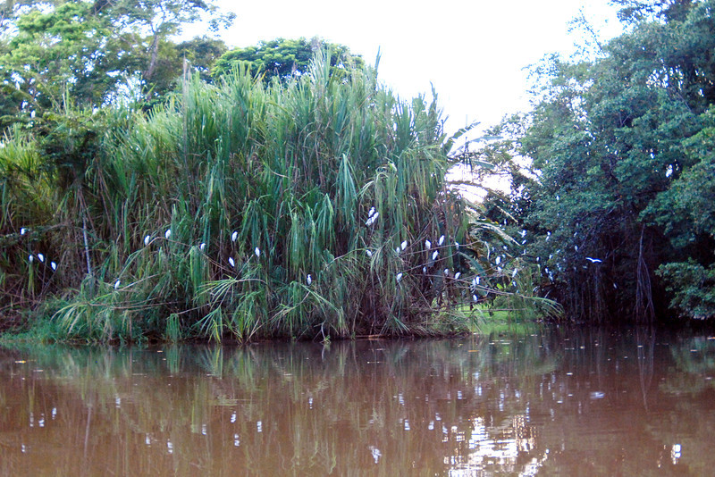 Birds at the Tortuguero Canals