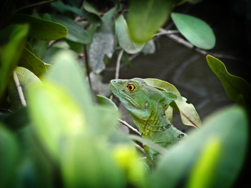 Jesus lizard in Costa Rica, so called because the lizard runs across the water on its hind legs - December, 5, 2011