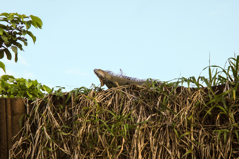 Iguana at the Tortuguero Canals