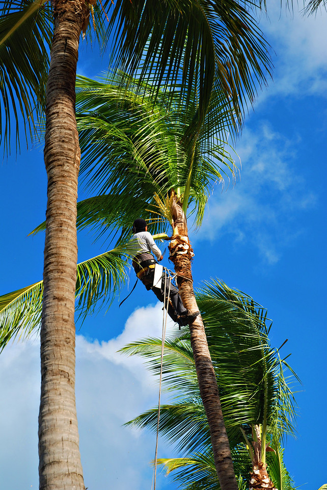 Worker trimming palm trees in Aruba - December 2, 2011