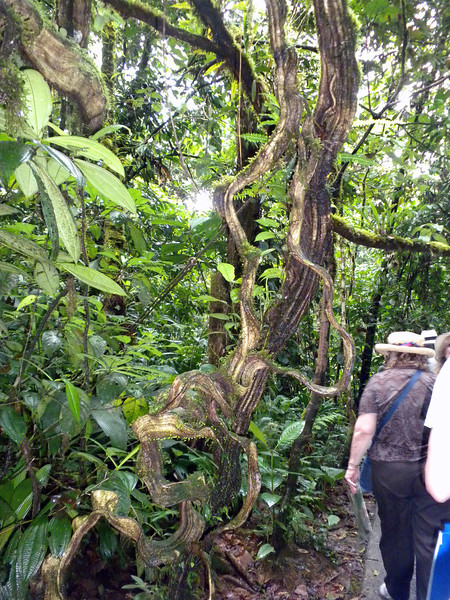 Strange looking tree at the Rainforest in Costa Rica