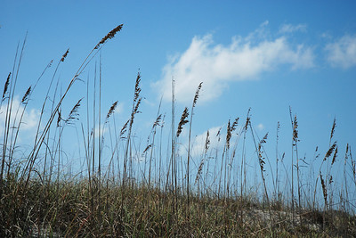 Sea oats on the dunes