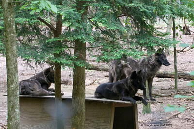 Gray wolves at Bays Mountain State Park.