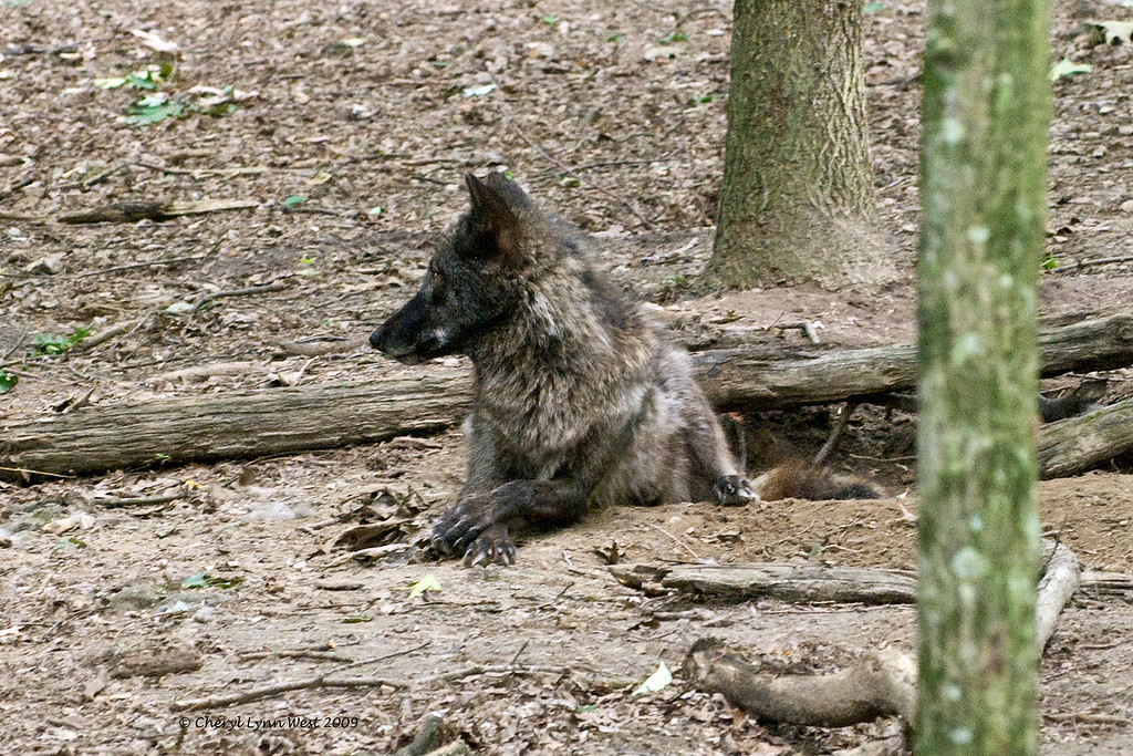 Gray wolf at Bays Mountain State Park