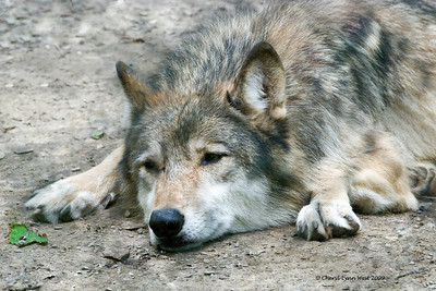 Wolf, resting in the heat of the day, at Bays Mountain State Park