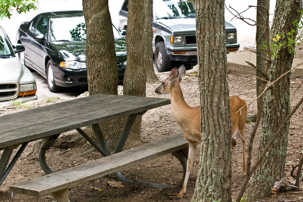 This white tail deer is obviously used to checking out the picnic tables.  Visitors are told not to feed the wildlife.