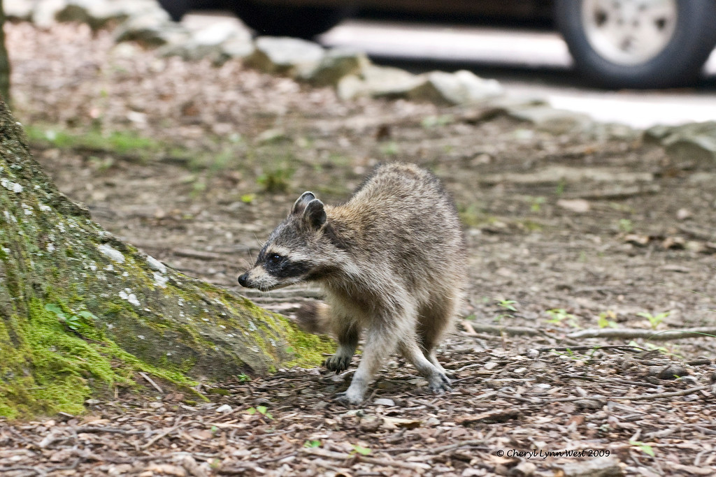 This raccoon was seen in the parking area.  He was not afraid of any of the human visitors.