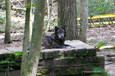 Gray wolf at Bays Mountain State Park.