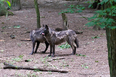 Gray wolves at Bays Mountain State Park.  These wolves are still shedding their winter coats.
