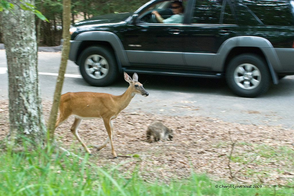 White tail deer and raccoon cruise through the parking lot.