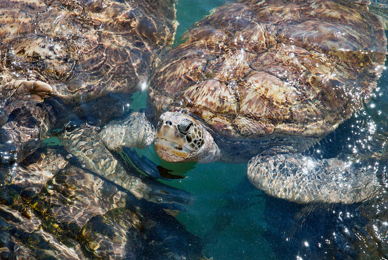 Turtle farm on Grand Cayman, where injured sea turtles are rehabilitated before returning to the seas.