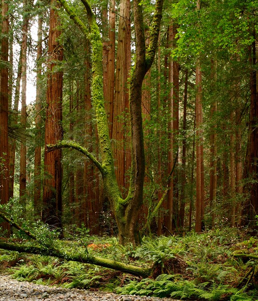 West coast redwood trees at Muir Woods National Monument, California, USA.