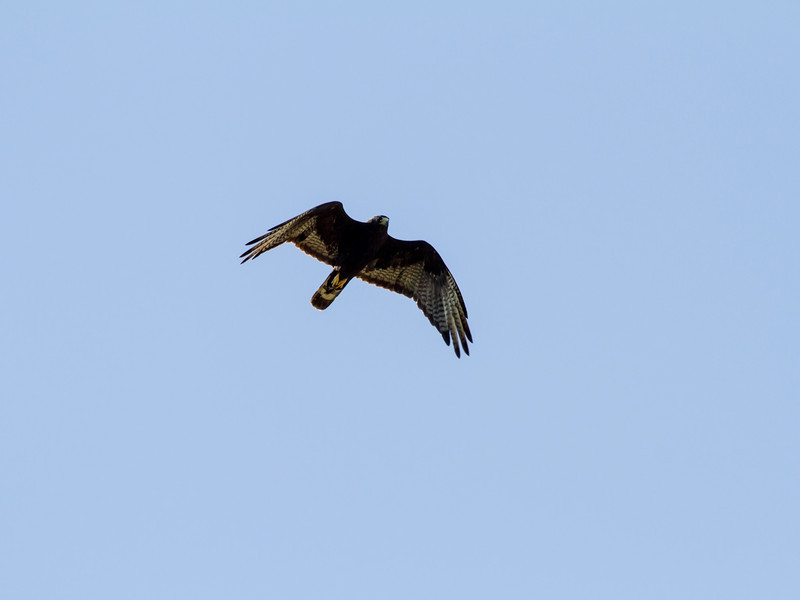 Hunting hawk.