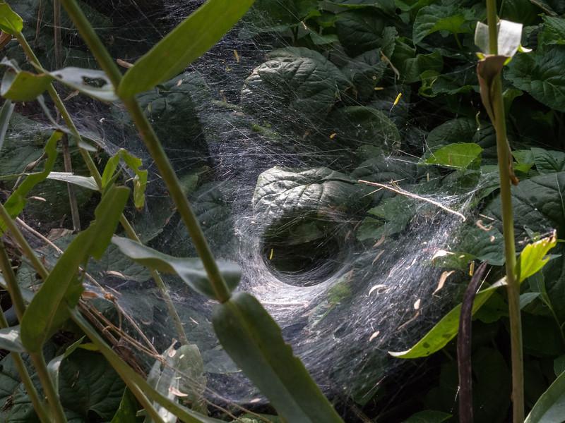 Tunnel-web spider.