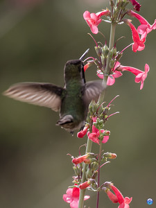 Hummer & Penstemon