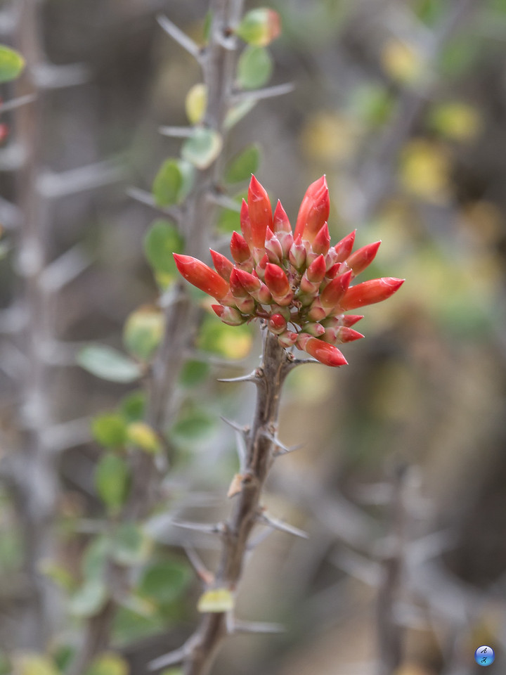 Ocotillo Flower Buds