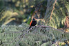 Scarlet-rumped Tanager.  Very common at many altitudes.