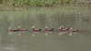 This line of Black Bellied Whistling Ducks with their reflections is another favorite image.