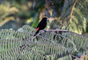 Scarlet-Rumped Tanagers  were one of the common birds at most altitudes.