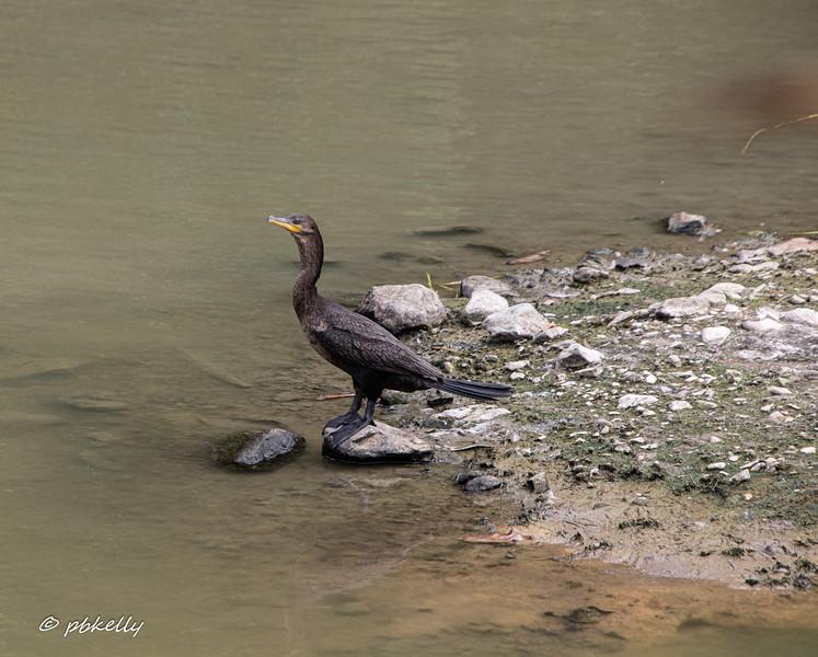 Neotropical Cormorant.