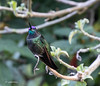 There are 50 species of Hummingbird in Costa Rica.  This is one of the largest we saw.  Magnificent, maybe?