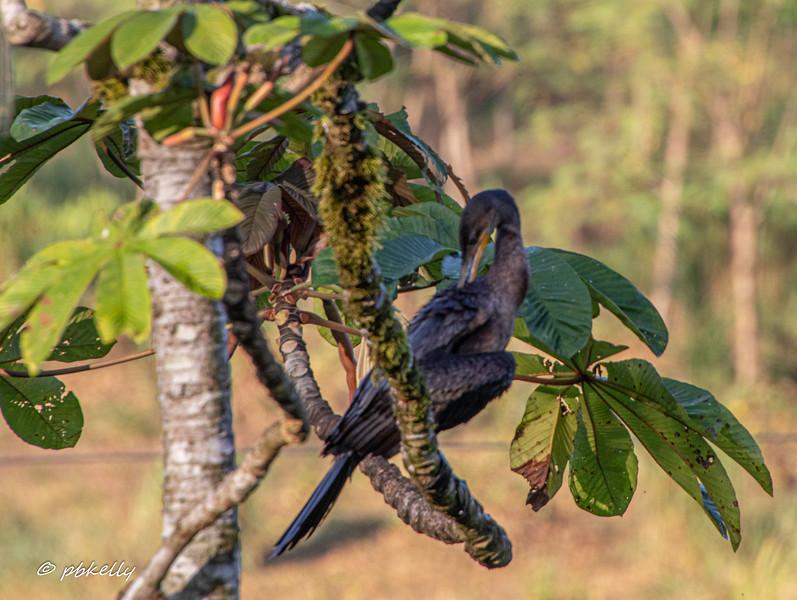 Neo-Tropical Cormorant.
